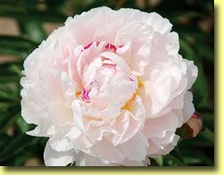 This site has lots of peonies for sale. This one looks like the one in the yard when I was growing up. Sweet.