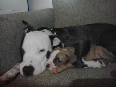 Daddys Diamond Pitbull Terrier American Pitbull Terrier