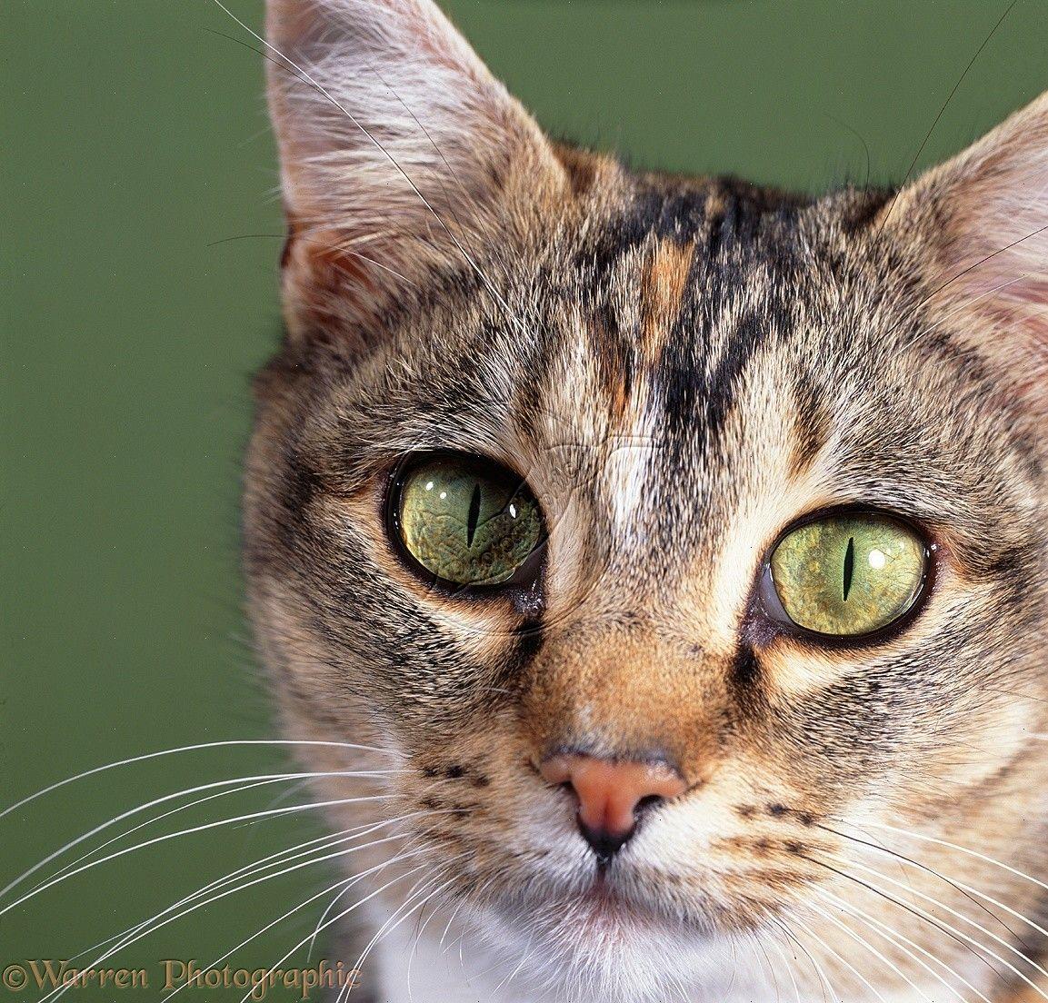 Cat WP05398 Tabby tortoiseshell cat with pupils closed