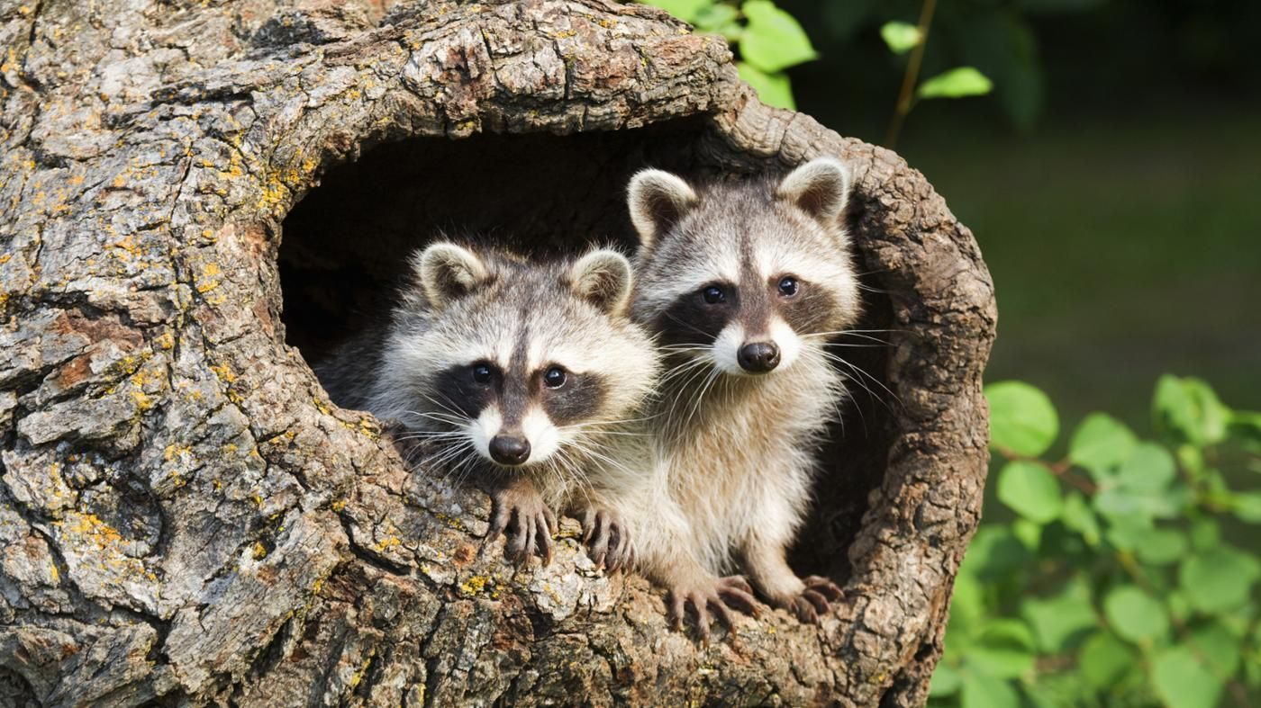 Of the 50 states in America, 29 states do allow people to keep pet raccoons. Each state has its own laws regarding owning raccoons, and persons interested in doing so must meet the indicated...