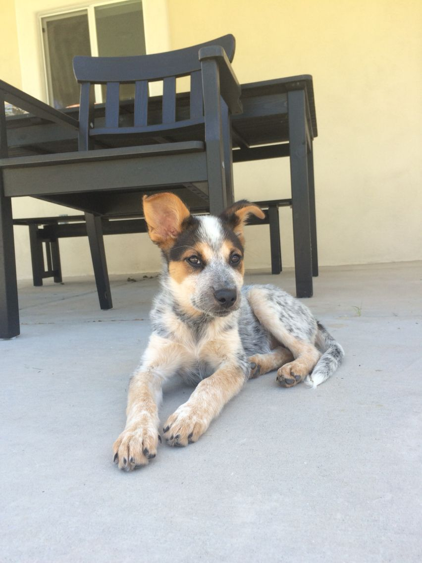 border collie/australian cattle dog (With images) Cute