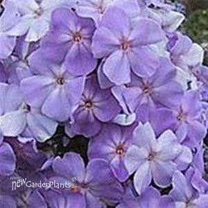 Tall Phlox Blue Boy Flowers Garden Tall Phlox Flowers