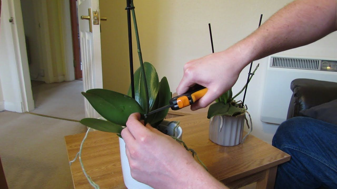 How To Get Your Phalaenopsis Orchids To Flower Again Youtube Looking After Orchids Phalaenopsis Orchid Phalaenopsis