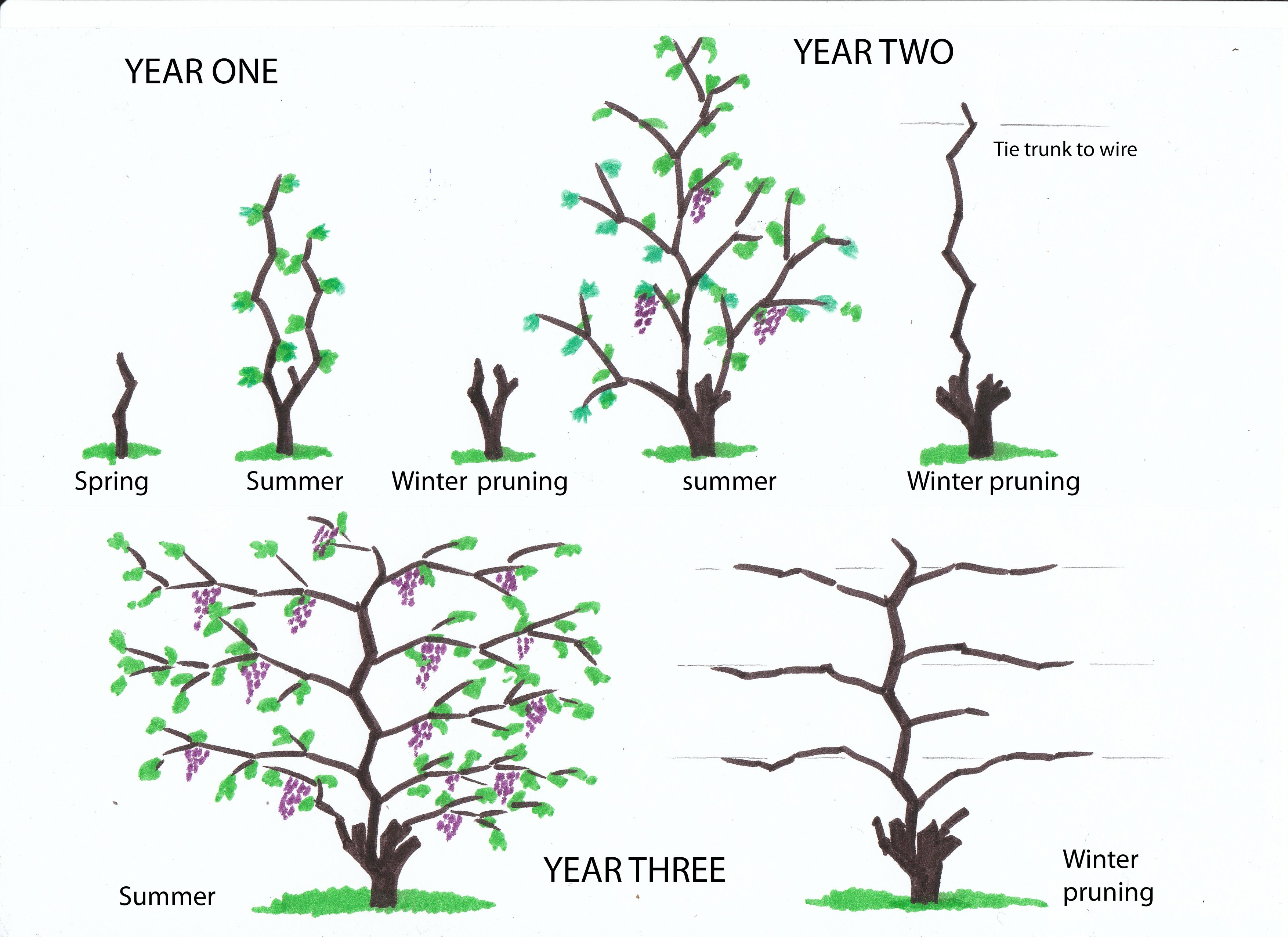winter pruning of vines from infancy to the fourth year infancy