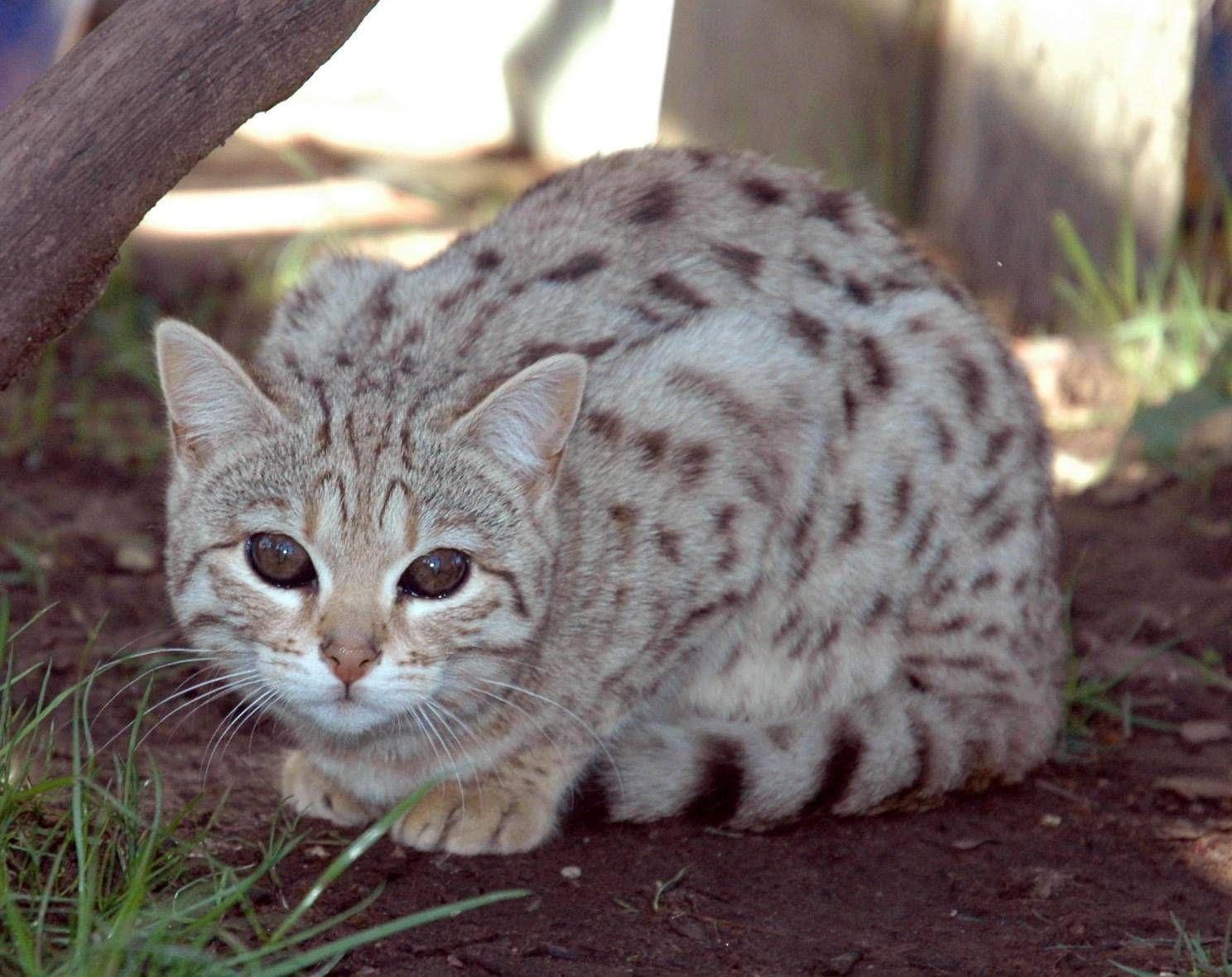 Croquiserosurbanoslaplata Blogspot Com White Bengal Cat Ashera Cat Bengal Cat