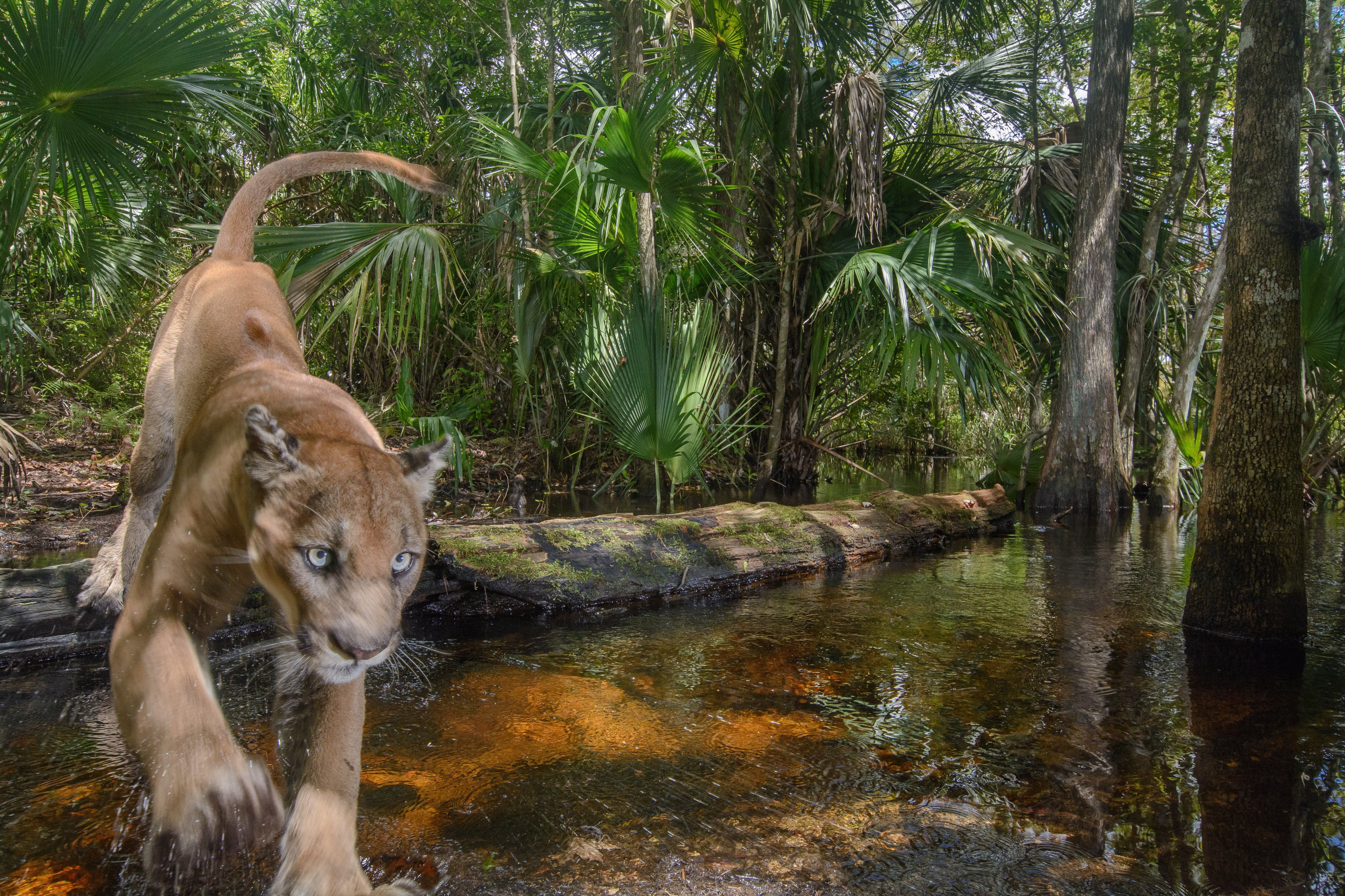 The week in wildlife in pictures Florida panther