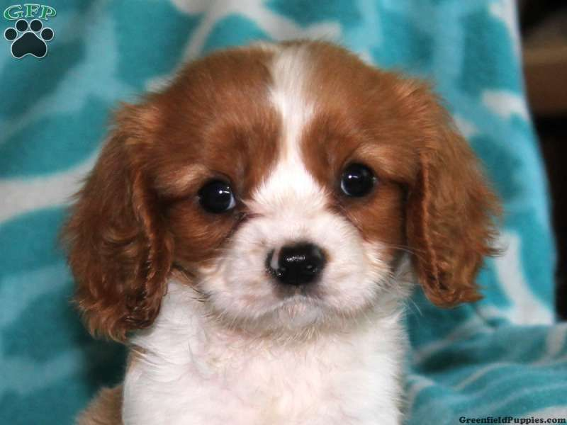 Page Not Found Greenfield Puppies Spaniel Puppies For Sale King Charles Cavalier Spaniel Puppy Greenfield Puppies