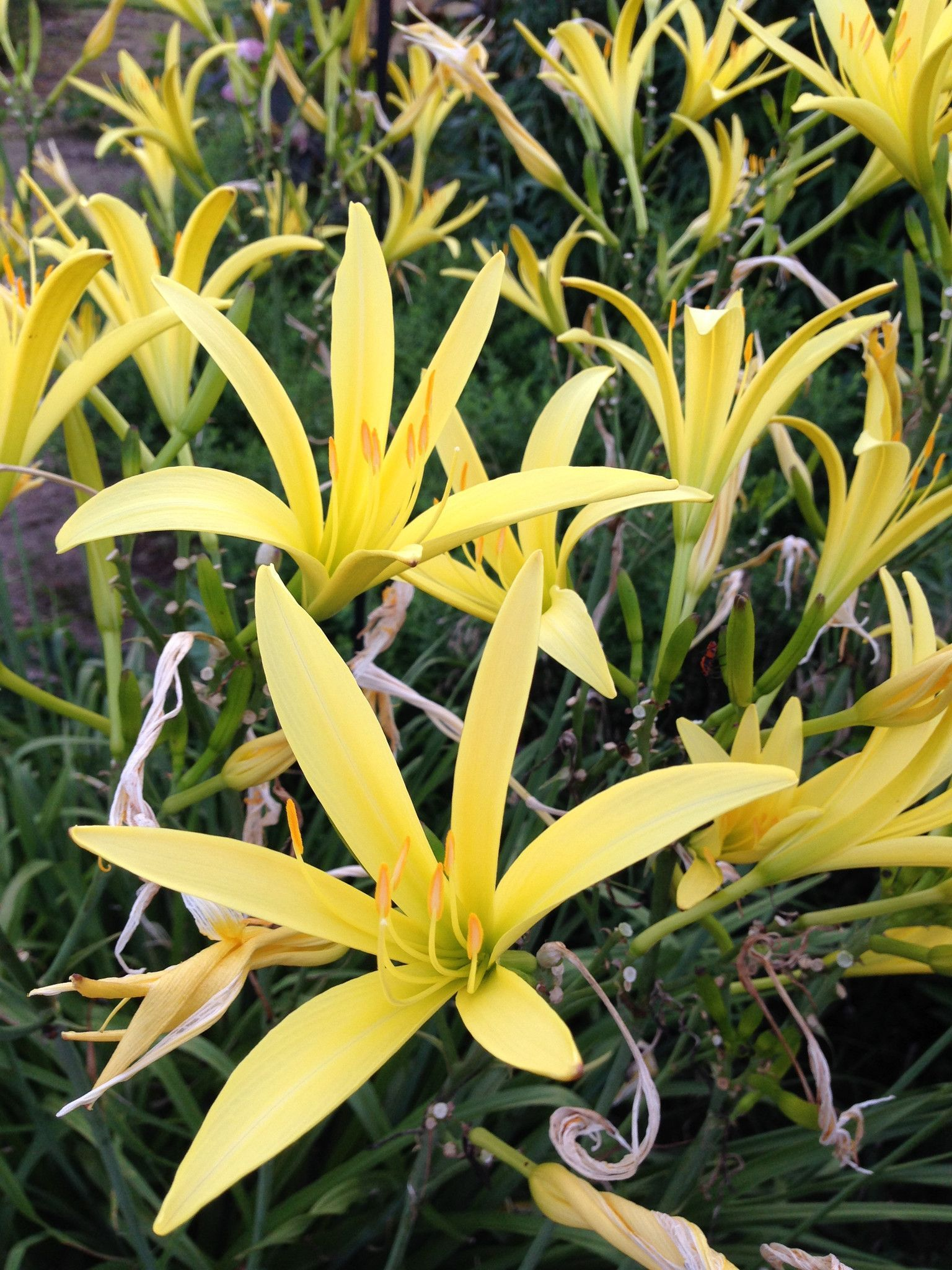 Night Blooming Daylily Hemerocallis Citrina Fragrant Lemon Citron
