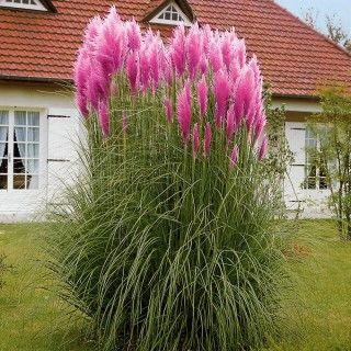 palmlilie pampasgras g rten und pflanzen. Black Bedroom Furniture Sets. Home Design Ideas