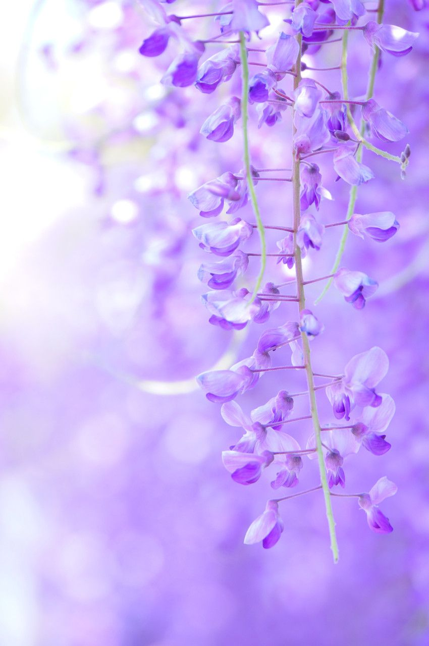 Wisteria Japan Via Acafe My Sony Club ソニー 藤 Wisteria