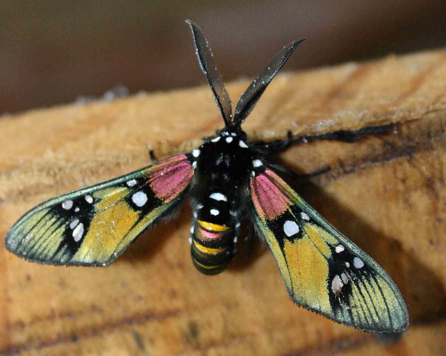 strange flying insects Google Search Rainforest