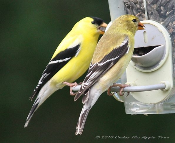 American Goldfinch Female Has Duller Coloring Minnesota Birding