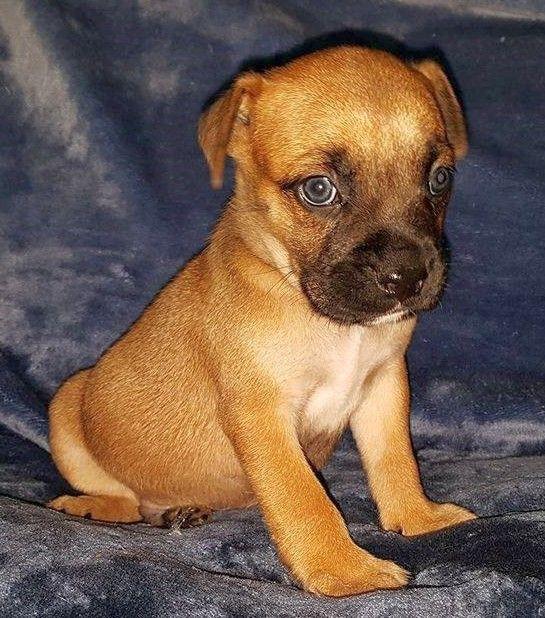 Boxador dog for Adoption in Rockaway, NJ. ADN551653 on