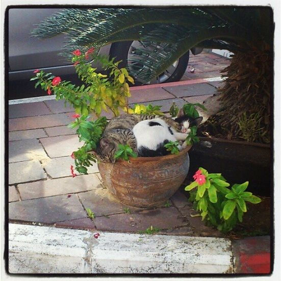 cats in flower pots | Two Stray Cats Sleeping in a Flower Pot