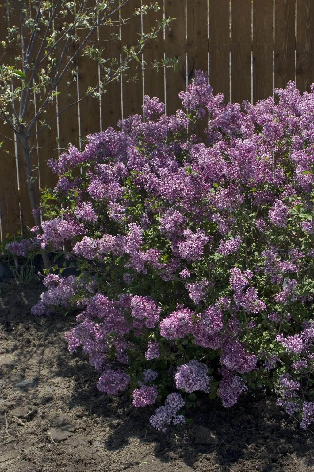 Boomerang Lilac Blooms In The Spring Throughought The