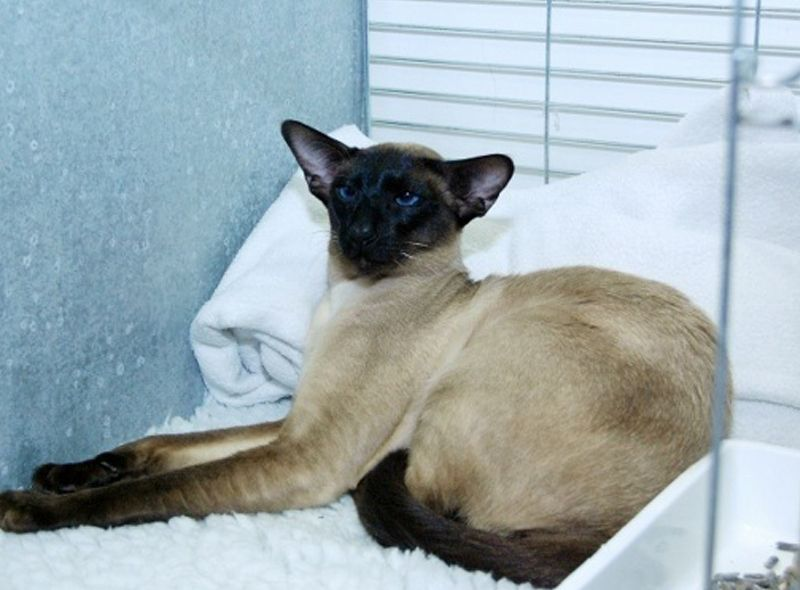 Seal Point Siamese Stud Cat Siamese cats, Cat breeder, Cats
