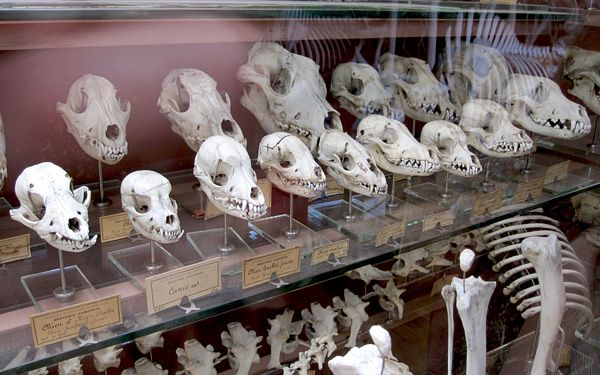 Gallery Of Palaeontology And Comparative Anatomy Paris Dog