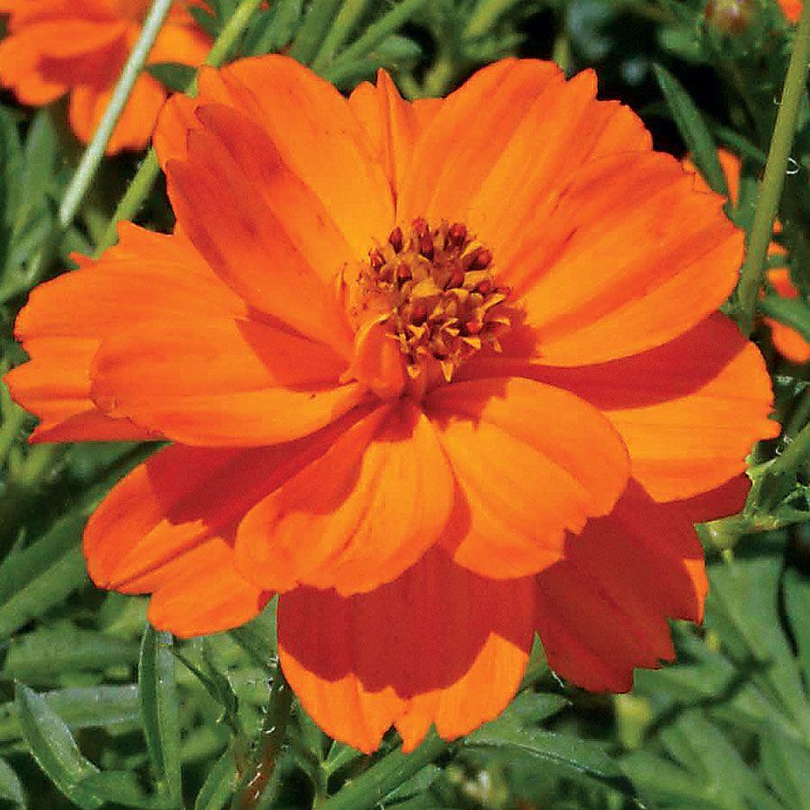Towering Orange Cosmos Flower Seeds Cosmos Flowers Flower Seeds Cosmos Plant