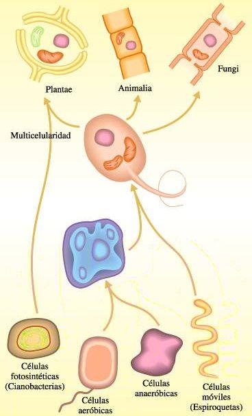 Secuencia de eventos que dieron origen a diversas células eucarióticas
