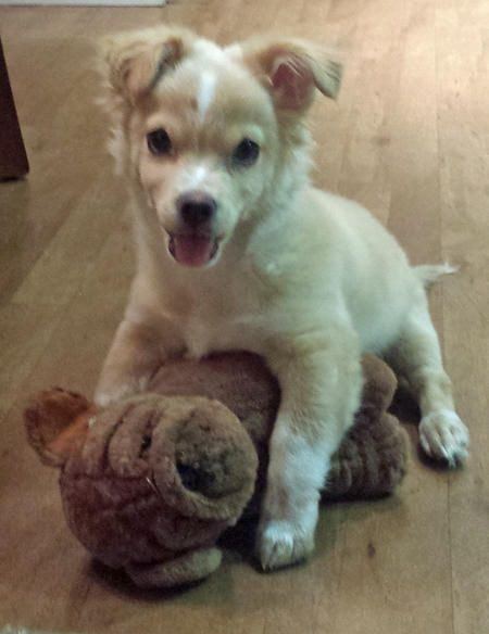 Augie The Mixed Breed Cute Corgi Mix Dog From Daily Puppy Cute