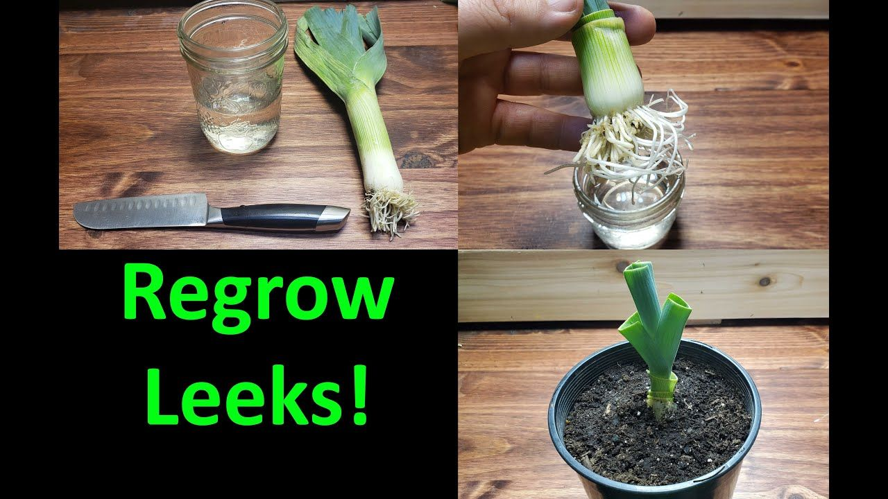 How To Grow A New Leek From A Leek! 2020 YouTube in