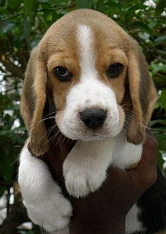 Beagle Puppy Puppies Dogs