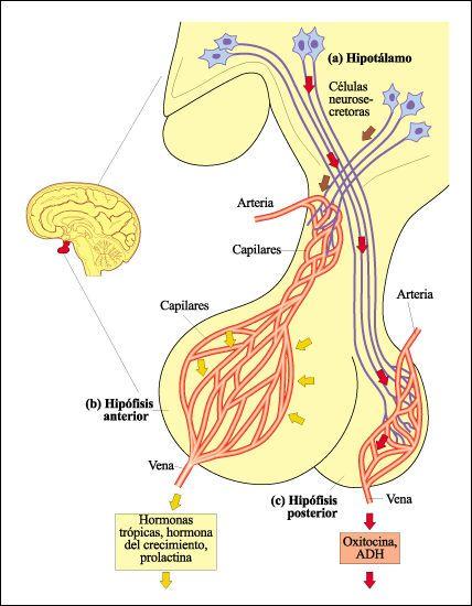 hipotalamo hipofisi - Buscar con Google
