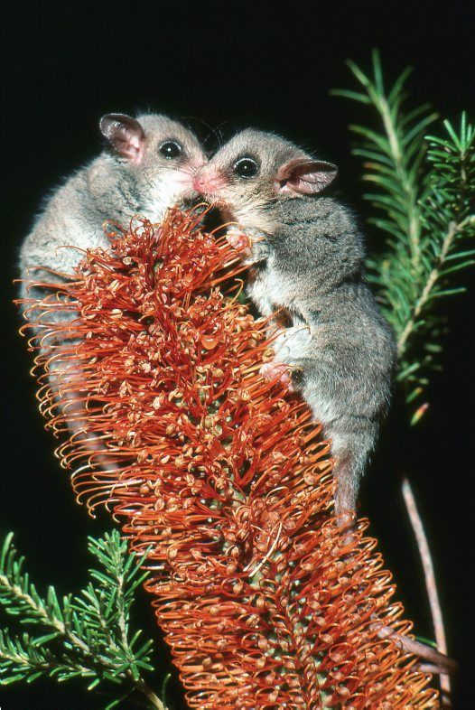 The pygmy possum is a marsupial native to