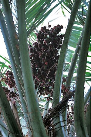 Jelly Palm - edible fruit