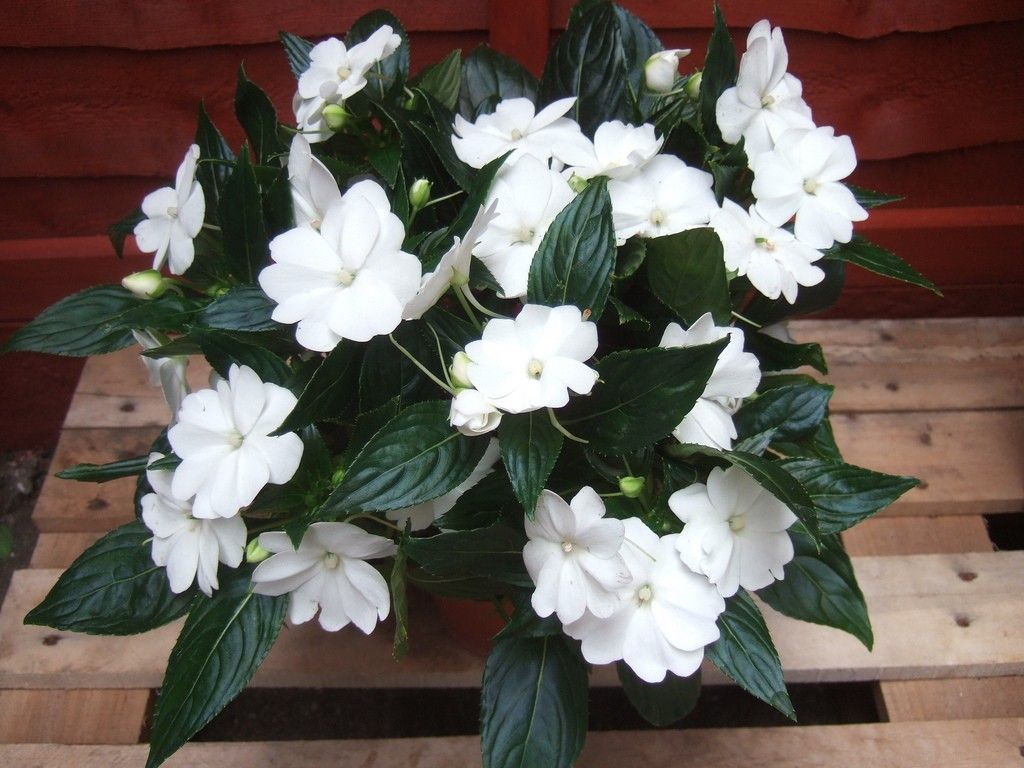 Pin On New Guinea Impatiens