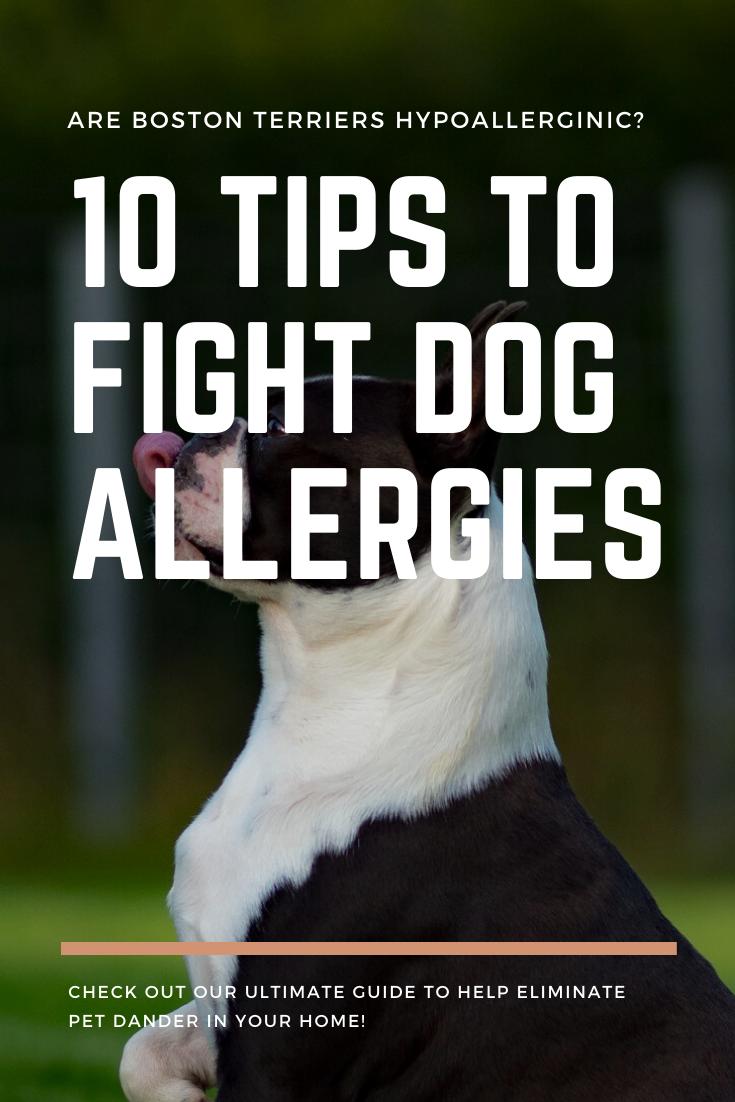 Are Boston Terriers Hypoallergenic Allergy Fighting Tips In 2020 Dog Allergies Boston Terrier Pet Dander