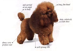 Poodle English Saddle Clip Google Search With Images Poodle