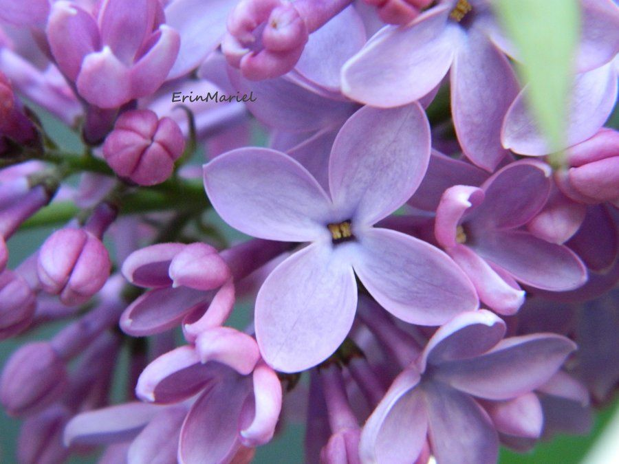 Lilac By Erinmariel On Deviantart Popular Flowers Most Popular Flowers Pictures Of Spring Flowers