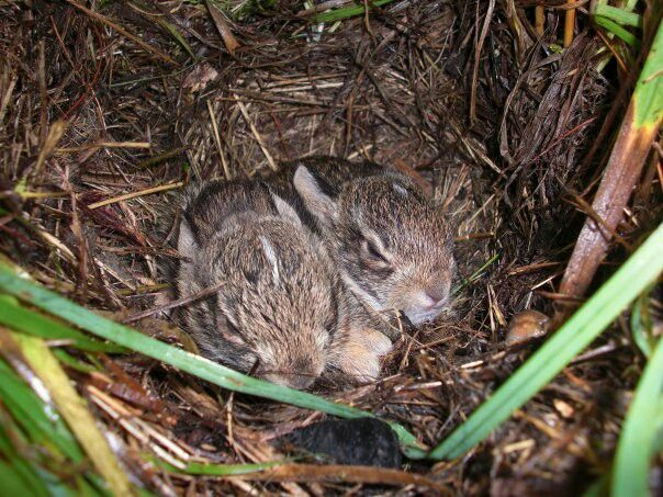 I found these two baby wild rabbits in my back yard ...