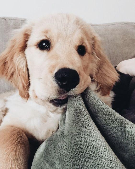 Danielletoman67 Puppies Cute Animals Retriever Puppy
