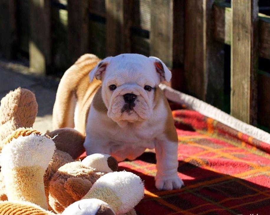 Alsoomse english bulldogs bulldog dogs and puppies