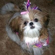 Pin by  fionnuala allison on Eliza jane | Toy dog breeds
