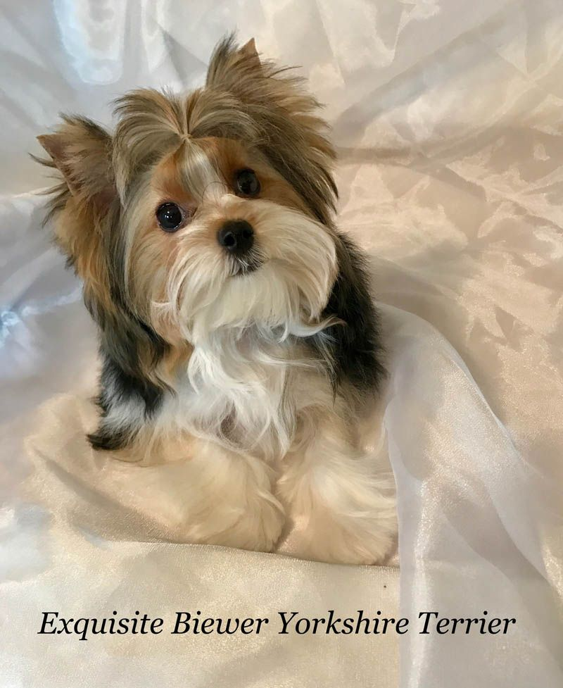 Yorkshire Terrier With Images Yorkshire Terrier Puppies Biewer Yorkie Yorkshire Terrier Dog