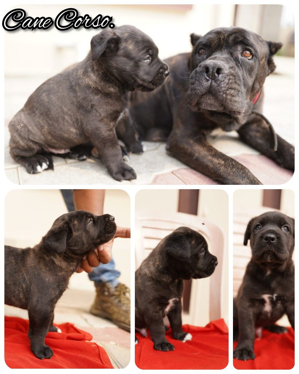 Cane Corso Puppies Available Tags Boskyskennel Boskyskennel