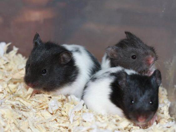 Silver Black Banded Lh Hamster Hamster Syrian Hamster Cute