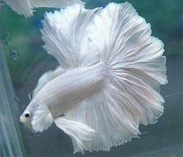 PLATINUM WHITE DUMBO MALE HALFMOON BETTA - Imported and ...
