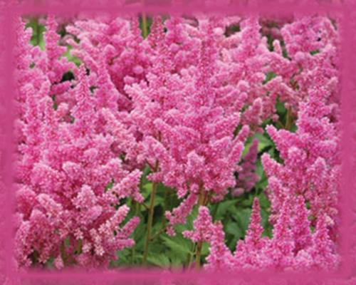 Pink Astilbe Flower Essence Nature S Remedies In 2020 Astilbe Flower Perennial Plants Spirea Plant