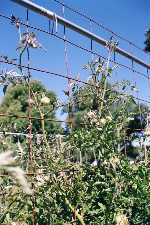 Tomato staking techniques evaluation master gardeners of - Master gardeners santa clara county ...