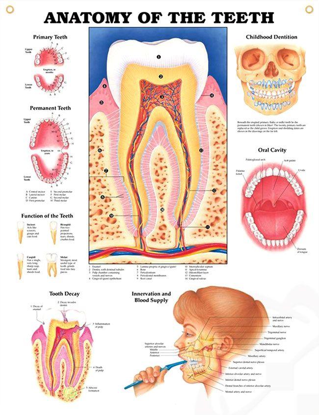 Anatomy Of The Teeth Chart 20x26 Dental Pinterest Teeth