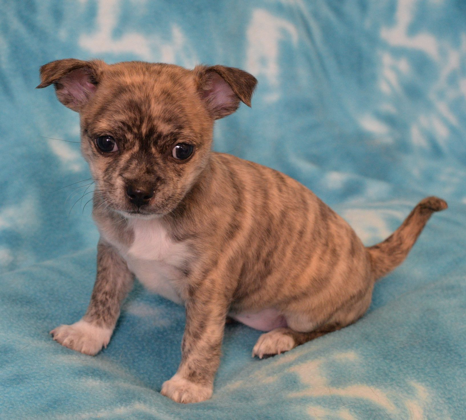 French Bullhuahua dog for Adoption in Eureka, CA. ADN
