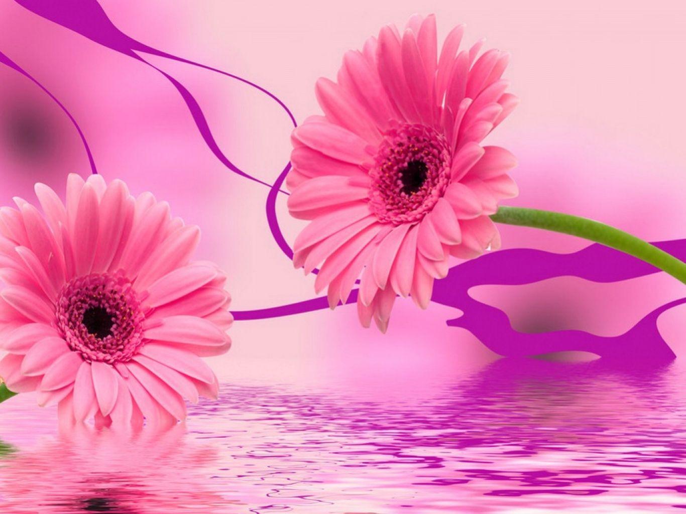 Margaritas rosadas   rosa