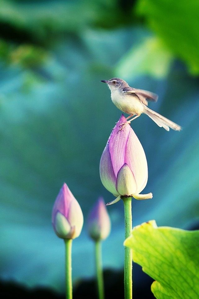 Bird Stand In The Lotus Iphone 4s Wallpapers 花 壁紙 睡蓮 蓮の花