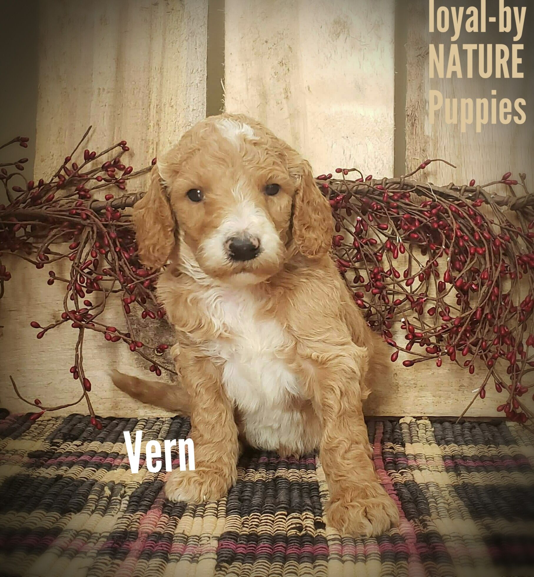 Vern AKC Standard Poodle Poodle puppies for sale