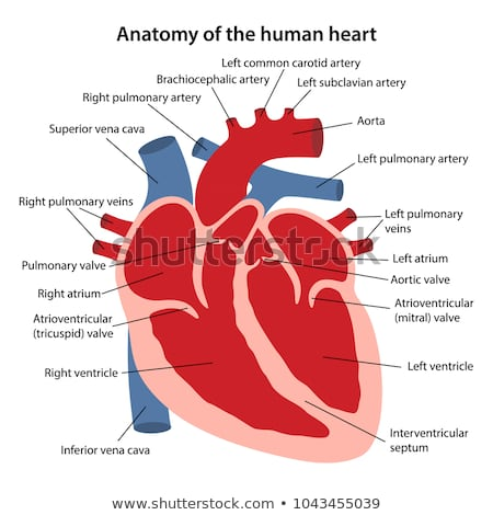 Anatomy of the human heart. Cross sectional diagram of the ...