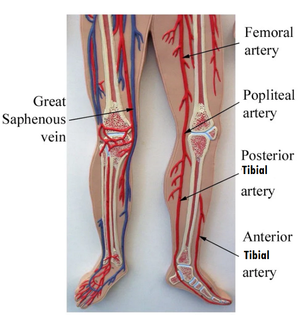 Major Systemic Arteries | Anatomy and Physiology Models | Pinterest